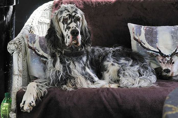 English Setter Weltsieger 2014