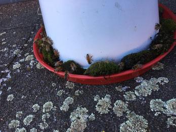 Abreuvoir à poule pour les abeilles