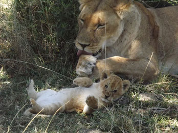 safari kenya leone in2kenya masai mara leonessa cucciolo watamu