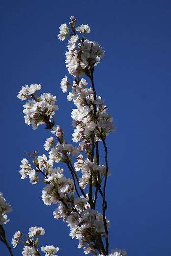 Japanische Zierkirsche in voller Blüte