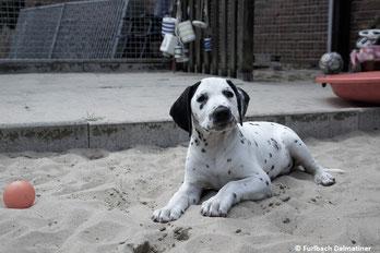 Lipton vom Furlbach LUA )N/hu) sucht ein Hundesportzuhause