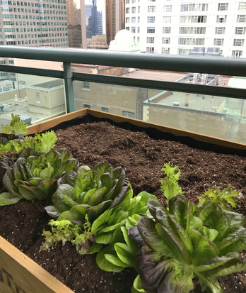 View from the balcony.  Lettuce crops in a raised planter.