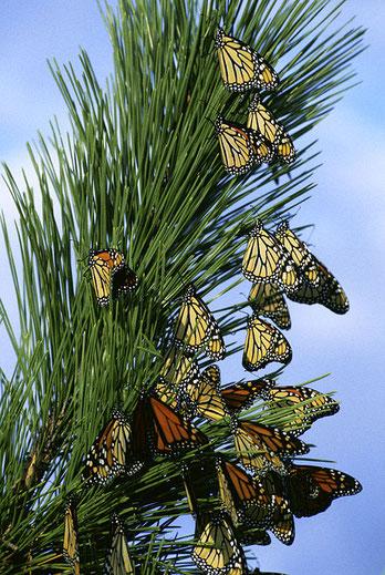 Monarchfalter auf der Wanderschaft