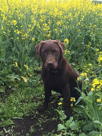Labrador Cody Hof Hoernsee