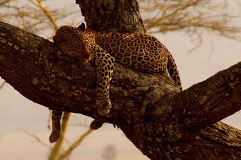 Leopard auf dem Baum, Serengeti