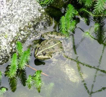 Die Frösche in unserem Teich sind wieder da. Sie quaken so laut, weil sie unter Naturschutz stehen.  In der Politik heißt das Immunität