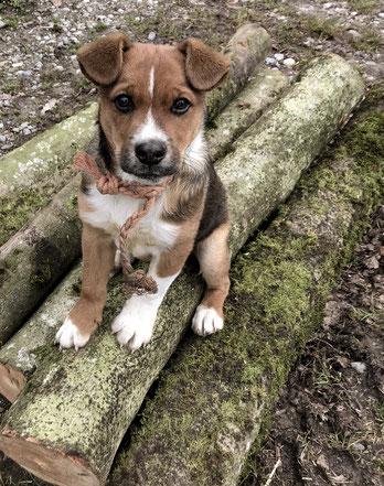 Unser Appenzeller Sennenhund, Sämi