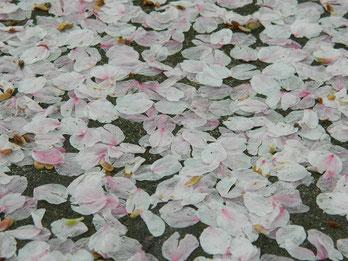 昨日の雨で桜も落ちて濡れた絨毯になっていました。