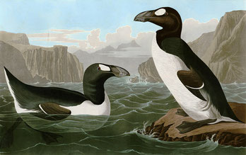 Pinguinus Impennus par John James Audubon  (1785-1851) — University of Pittsburgh. Sous licence Domaine public via Wikimedia Commons