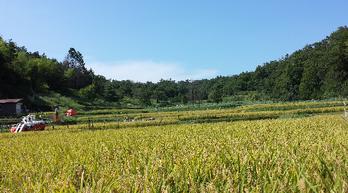 里山の棚田、稲刈り田んぼの様子(昨年9月頃)今年も美味しく育ちました。もうすぐ稲刈りの写真