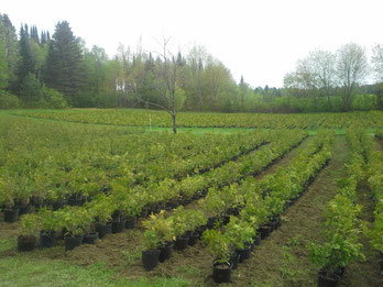 cèdre, cèdres, haie de cèdre, cédrière, portneuf, saint-raymond, producteur, cèdre à vendre