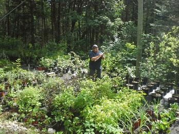 plantes à vendre, végétaux, arbre, arbuste, vivace, renaturalisation, végétalisation, fascine, bande riveraine, indigène, rustique, pépinière, portneuf, saint-raymond