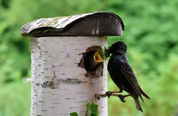 Ein Star singt vor einem Vogelhäuschen