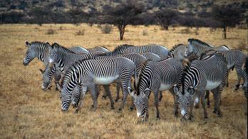 Zebra di Grévy