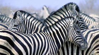 Zebra di Burchell