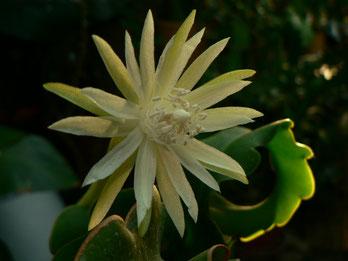 Epiphyllum guatemalense 'Curly Kai'