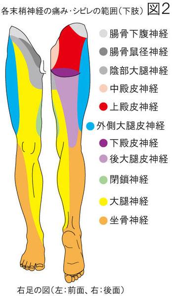 末梢神経の痛みとシビレの範囲:下肢