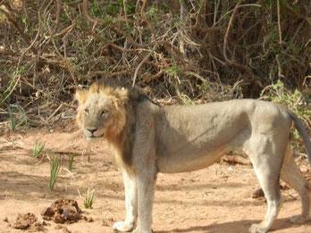 Löwen am Galana River
