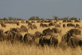 Safaris in Kenia in die Massai Mara
