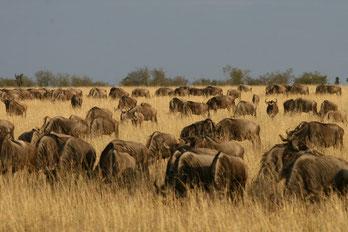 Safaris in Kenia in die Massai Mara