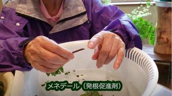 刺し芽に使うメネデール(発根促進剤)