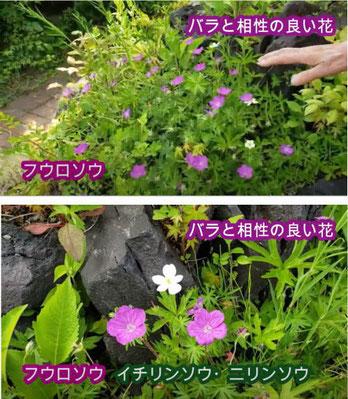 バラと相性の良い花