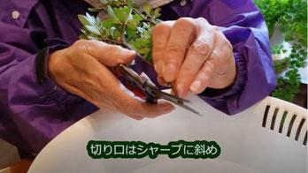 刺し芽作りの切り口はシャープに斜め