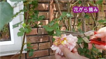 バラの花がら摘み