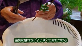 刺し芽作り、切ったら水につける