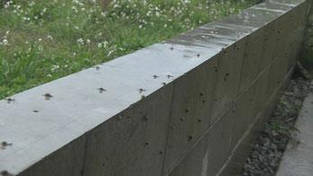 外壁に付いたカタツムリ(多量)