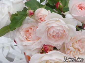 四季咲中輪系バラ「ステファニー グッテンベルク」