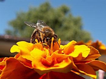Honigbiene sammelt Nektar auf Blüte