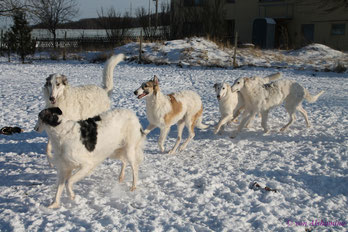 Borzoi litters, borzoi breeder Germany, European borzois von Alshamina, borzoi puppies FCI!