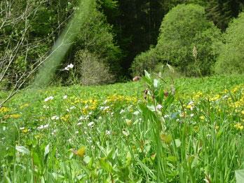 Blühende Wiese im Ried, Lebensraum für unzählige Tierarten!