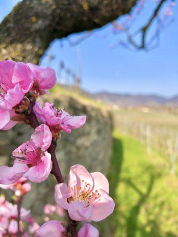 Die Wachau bietet im Frühling schönste Rieden, Ausflugsziele mit Scootertouren. Die Gäste der Wachau können einen schönen Ausflug mit em E-Scooter machen und Weingüter und Heurigen besuchen.
