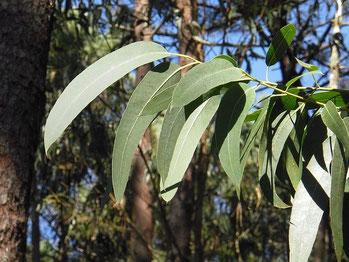 Eukalyptus Hartfaser
