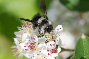 Foto: Frühlings-Pelzbiene, Pixabay