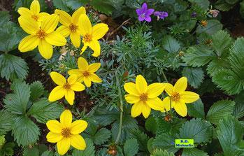 Einfarbig gelbe Blüten der Goldmarie / Bidens / Gold-Zweizahn / Zweizahn von K.D. Michaelis