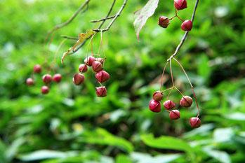 ヒロハツリバナの果実 (広葉吊花)