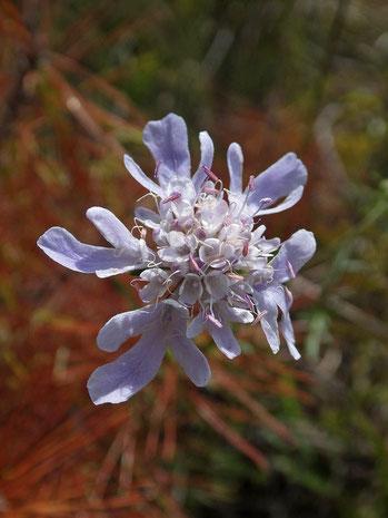 ミカワマツムシソウ 舌状花があるものも