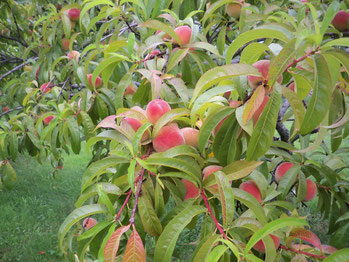Some of the beautiful Berry Best Farm peaches 2019. (photo K. Bozak)