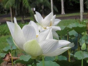 Die Stängel der Lotuspflanze erheben sich bis zu 1m aus dem Wasser.