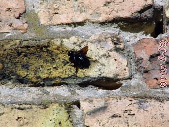 Die Holzbiene sucht die Wärme der Steinwand.
