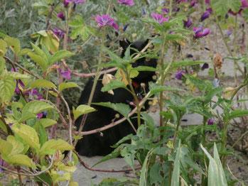 Heilpflanzengarten Oberhausen - Malva sylvestris und ihre Besucher 2
