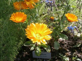 Heilpflanzengarten Oberhausen - Calendula officinalis