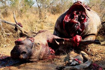 """Un rinoceronte """"macellato""""."""
