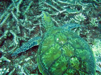 Tartaruga verde (Chelonia mydas)