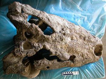 Il cranio di un coccodrillo lungo fino a 8,3 metri, il più grande mai scoperto.