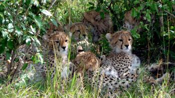 Famiglia di ghepardi. Masai Mara