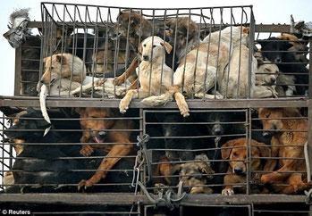 Cani catturati per l'annuale festival della carne di cane in Cina.